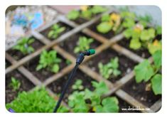 Do you have insects eating your beloved garden like I did. You must try this simple 2 ingredient natural garden spray recipe! I love using essential oils!