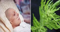This herb destroys cancer in less than one day!