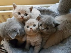 We have 2 litters of beautiful British Shorthair kittens 3 lilac boys ( 1 reserved) 1 blue boy 1 blue girl Will be ready to leave in end of November 2... Pet Breeds, Puppy Breeds, Large Animals, Cute Animals, Cat Skin, British Shorthair Kittens, Kitten For Sale, November 2
