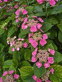 402125 - Big-leaved hydrangea (Hydrangea macrophylla 'Möwe')