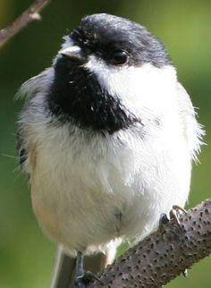 Black-capped chickadee | Wild Birds Unlimited