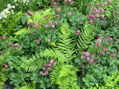 Dapples shade gardens were all the rage...some ferns, pachysandra and astrantia
