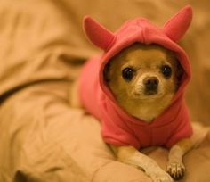 A Chihuahua Temperament: The Good, The Bad, and The Ugly