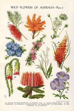 vintage Botanical flower print Australian Wild Flowers Banksia Bottlebrush Grevilea flower art illustration