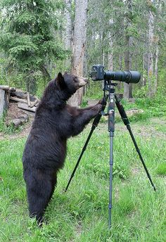 Bear Using A Camera To Take Pictures