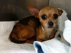 SAFE --- URGENT - Manhattan Center   ABIGAIL - A0985646   FEMALE, TAN / WHITE, CHIHUAHUA SH MIX, 6 yrs  STRAY - EVALUATE, NO HOLD Reason STRAY  Intake condition ILLNESS Intake Date 11/22/2013, From NY 10459, DueOut Date 11/25/2013  https://www.facebook.com/media/set/?set=a.709055769107305.1073742638.152876678058553&type=3#!/photo.php?fbid=713277942018421&set=pb.152876678058553.-2207520000.1385248475.&type=3&theater