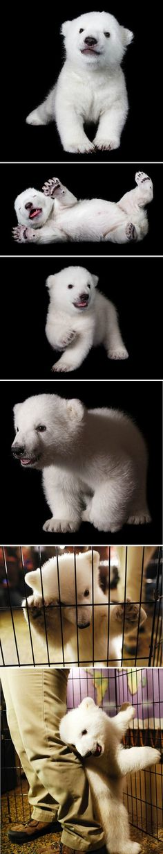 ❤ it . . . Luna the Polar Bear Cub, just hanging out, playing, stealing your heart. You know, the usual.