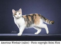 American Wirehair from Pictures of cats