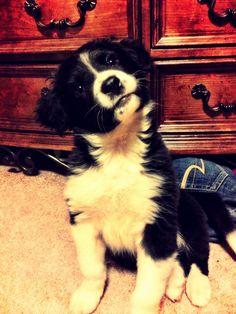 Border Collie.. Such a little cutie.. Puppy :)
