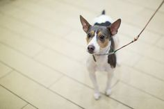 A rat terrier attends the The 138th Annual Westminster Kennel Club Dog Show Press Conference at Madison Square Garden on February 6, 2014 in New York City. (Photo by Ben Hider/WireImage)