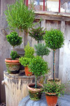 potted topiaries rosemary, eugenia, ferns love the mossy pots