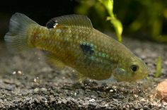 Flagfish are a small fish that are semi-aggressive in nature.