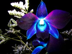 The blue orchids that don't benefit of enough light will not bloom, although they might survive even in those difficult conditions. Description from funmozar.com. I searched for this on bing.com/images