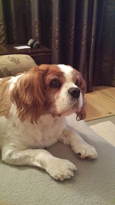 Toby Cavalier King Charles | Pawshake Glasnevin