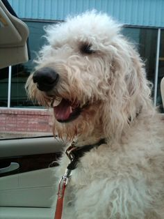 Convertible Stylin' Harry Howard the Labradoodle