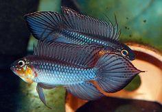 12 quick aquarium tips for beginners Tropical Freshwater Fish, Tropical Fish Aquarium, Freshwater Aquarium Fish, Saltwater Aquarium, Fish Aquariums, Beautiful Tropical Fish, Beautiful Fish, Aquarium Design, Home Aquarium