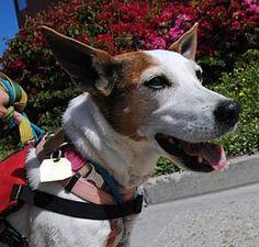 Ventura, CA - Parson Russell Terrier Mix. Meet Bailey, a dog for adoption. http://www.adoptapet.com/pet/12281259-ventura-california-parson-russell-terrier-mix