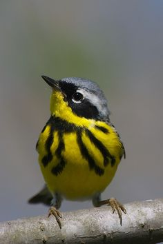 Magnolia Warbler by Peter Caulfield