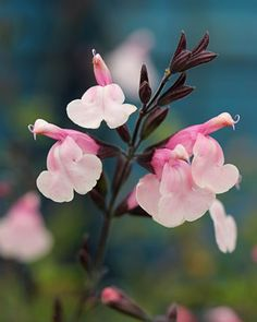 """grow as an annual  Salvia greggii """"Stormy Pink"""" - Buy Online at Annie's Annuals & Perennials"""