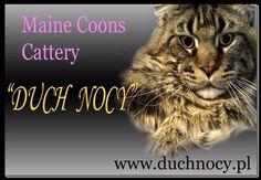 Duch Nocy - Hodowla Kotów Maine Coon