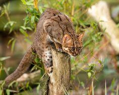 felinos-salvajes-inusuales (13)
