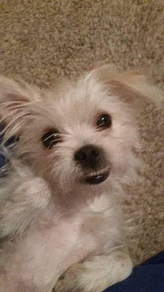 Meet Maxi, an adoptable Shih Tzu Dog | Miami, OK | Maxi is about 1 year old. She is housebroke and gets along with dogs and kids. A perfect...