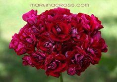 Pelargonium Rose of Bulgaria