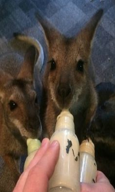 Rescued Wallaby And Her Son Visit The Person Who Rescued Her Life! #wallaby #wild #animals
