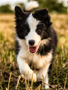 Eek! So cute. Think this little dude is a border collie which is the dog im lraning towards for my son