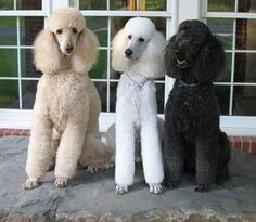 all the different colors of Poodles