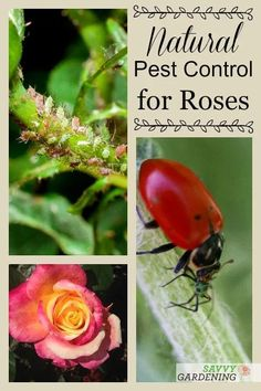 Rose Pests: Identification and Organic Controls for the Landscape Natural Pest Control, Planting Roses, Rose Garden Design, Cottage Garden Design, Cottage Garden Plants, Plants, Planting Flowers, Landscaping Plants, Growing Roses