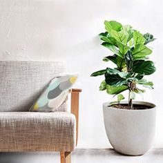 Option for LIVING ROOM: In a pot or pot inside basked. Next To TV unit. This is a fiddle fig.