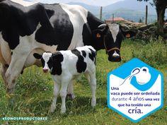 Una vaca puede ser ordeñada durante cuatro años una vez que ha tenido una cría. SAGARPA SAGARPAMX #SOMOSPRODUCTORES