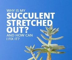 What to do with Succulents Growing Tall - Succulent seeds are tiny! Find out how to grow succulents from these tiny seeds so you can expand y - Tall Succulents, How To Water Succulents, Types Of Succulents, Propagating Succulents, Growing Succulents, Water Plants, Cool Plants, Planting Succulents, Watering Succulents