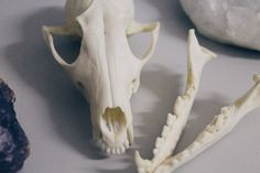 Oliver the Fox Real Fox Skull Red fox by potatobastard on Etsy
