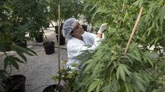 Canada To Launch Billion-Dollar Marijuana Free Market This Week : The Two-Way : NPR  The country wants to replace home and small-scale production with quality-controlled marijuana produced by large growers. Officials are tapping in to what they say will be a $1.3 billion medical marijuana market serving as many as 450,000 Canadians.