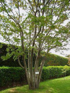 アオダモ - Google 検索 Green Garden, Trees To Plant, Landscaping, Gardens, Exterior, Google, Plants, Room, House