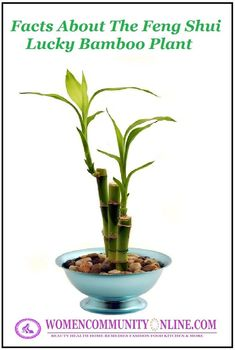 Feng Shui – Electronics Electronics are indispensable in our lives, but they may be causing problems when we keep them close to us at night. Feng Shui says that electronics like cell phones, … Bamboo House Plant, Lucky Bamboo Plants, Bamboo Tree, Feng Shui Lucky Bamboo, Feng Shui Cures, Bathroom Plants, Snake Plant, Hanging Plants, Diy Hanging