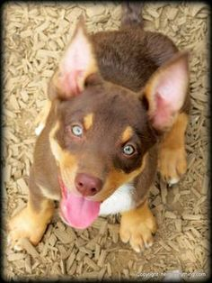 13 Best Australian Kelpies images in 2014 | Aussie dogs