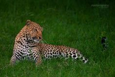 Stunning leopard, not far from Elephant Pepper Camp.  Image by Mario Moreno
