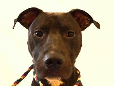 SAFE  08/11/15 - MIDNIGHT SKY - #A1045795 - Urgent Manhattan - NEUTERED MALE BLACK AND WHITE AM PIT BULL TER MIX, 1 Yr - OWNER SUR - EVALUATE, HOLD RLEASED Reason - NYCHA BAN - Intake Date 07/29/15 Due Out 08/01/15