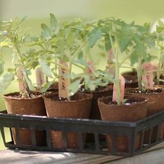 Grow Organic Tomatoes Enjoy your best crop of tomatoes yet with these 10 tips to get your tomato plants off to a strong start. - Enjoy your best crop of tomatoes yet with these 10 tips to get your tomato plants off to a strong start. Growing Tomatoes From Seed, Varieties Of Tomatoes, Growing Tomatoes In Containers, Grow Tomatoes, Growing Vegetables, Baby Tomatoes, Cherry Tomatoes, Perennial Vegetables, Container Vegetables