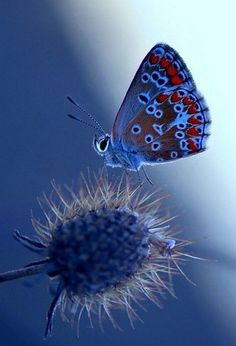 Match made in paradise...thistle and blue butterfly.