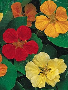 Nasturtium, Cook's Custom Mix - Nasturtium at Cooksgarden.com