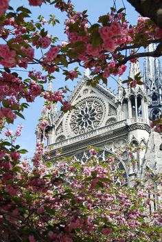 Cherry blossoms and Notre dame, Paris France