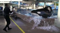 Tilikum, the famous Sea World Killer Whale is gravely ill with a serious lung infection.