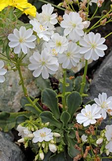 Lewisia cotyledon 'White Splendor' - Another Rock wall contender