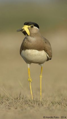Yellow wattled Lapwing (Vanellus malabaricus) - or - incognito bird - hiding behind a great mustache.