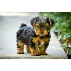 Adorable yorkie puppy | Fur & Funny | Pinterest ❤ liked on Polyvore featuring animals, pictures and puppies