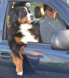 Adorable! Just like a Berner, just make yourself comfortable. Don't mind me, I just own this car.